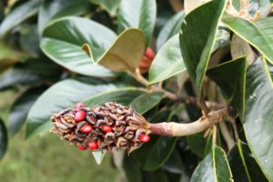 Seed pod-southern magnolia